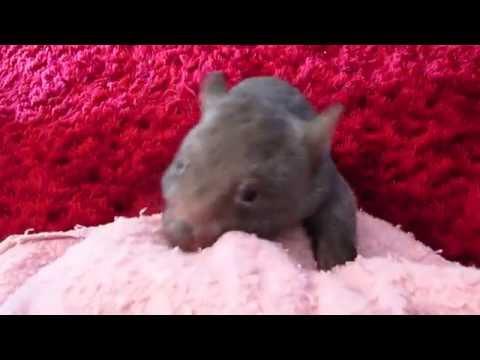 Wombat alarm clock