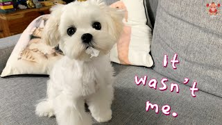Lockdown Day of a Cute Maltese Puppy  Six months old dog video compilation (Day #356)