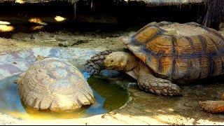 Gaint Tortoise   Dubai (حديقة حيوان دبي)