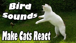 Bird SOUNDS to MAKE CATS REACT in Freak Out Hunting Mode Really Works!! Common Blackbird Call/Song