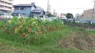 門真小の畑の今:地域協同センターの夢が宮本市長やAに潰された現場:8分37