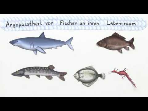 Fische anpassung an den lebensraum biologie biologie for Lebensraum fische