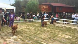 Kokusz Of Legendary Bambus-nationale D Elevange Dogue De Bordeaux, Serbia 2014