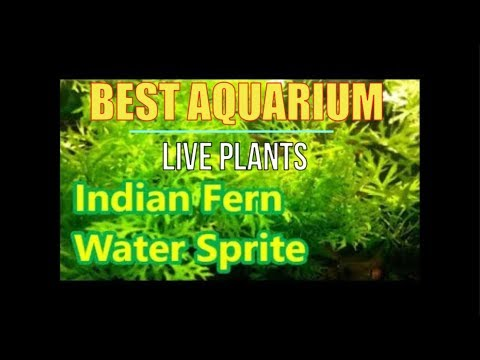 best live plants for tropical aquariums indian fern and water