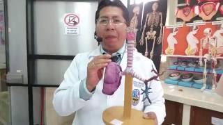 Sistema Respiratorio con modelo anatómico por Dr. Carlos Mamani L.
