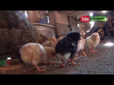 Gallina y sus pollitos recien nacidos el salvador en el campo