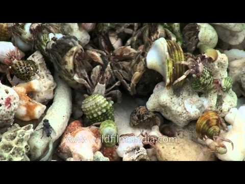 Living sea shells and crabs on the sea shore of Andaman & Nicobar Islands