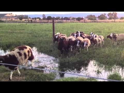 Calling Sheep