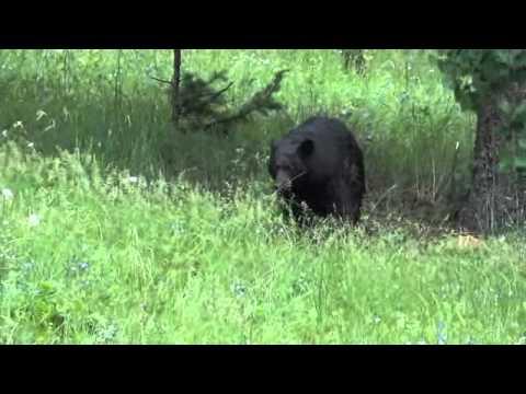black bear mom huffing