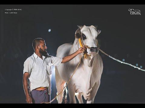 Top Goru Paglami Video's Of Gorur Haatt In 2 minutes