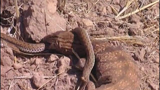 Animaux du désert : Les Reptiles