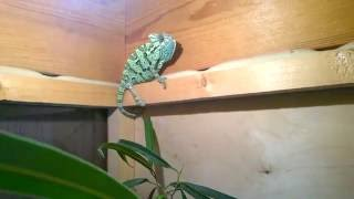 Йеменский хамелеон меняет цвет ( Chameleon Changing Color )