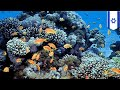 Coral reefs in the Red Sea thrive despite climate change - TomoNews