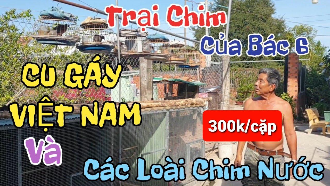 Trại Chim Cu Gáy Việt Nam - Quốc - Bìm Bịp - Trích Ré - Sâu Đầu Đỏ - Chào Mào Của Bác 6 .