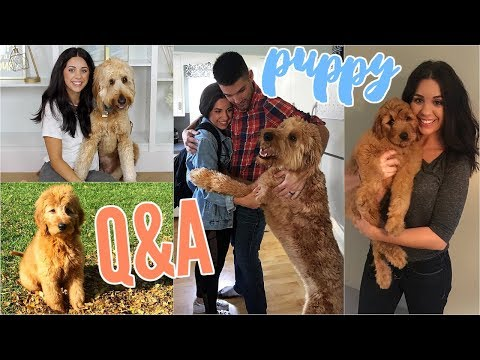 puppy-q&a!-my-goldendoodle-dude!-how-to-train-your-dog-&-other-things-i've-learned!