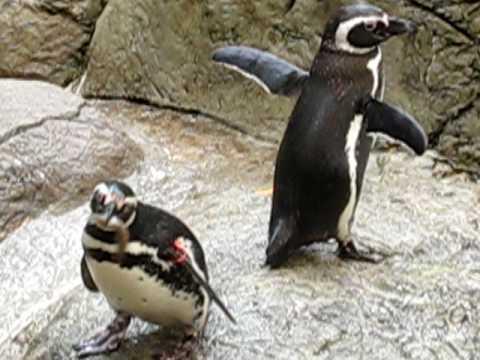 cute penguins eating fish - YouTube