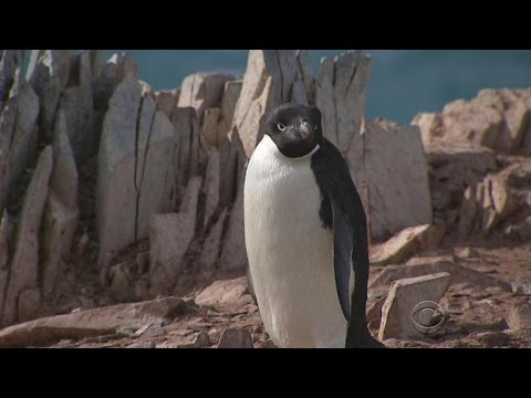 Penguin population plummeting in changing Antarctic climate