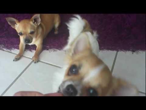 Trainieren mit 2 Chihuahua`s.mp4