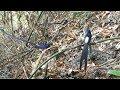 Pikat Burung Murai Batu Di Dalam Hutan  Mp3 - Mp4 Download