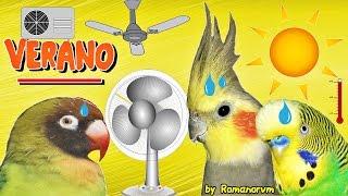 el VERANO vs Agapornis, Ninfas y Periquitos (aire acondicionado, ventilador, calor e hidratación)