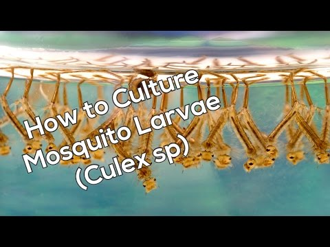 How To Culture Mosquito Larvae (Fish Food)