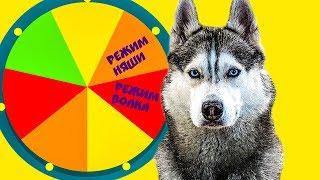 КОЛЕСО ФОРТУНЫ (Хаски Бандит) Говорящая собака