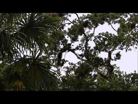 Howler monkeys Tikal Guatemala