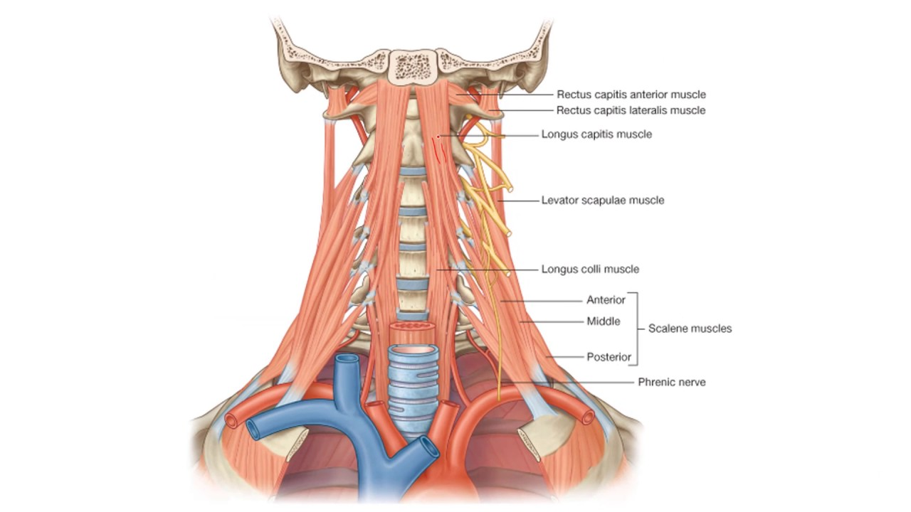Anatomy 2 | U1 - L16 | Muscles and deep fascia of the neck - YouTube