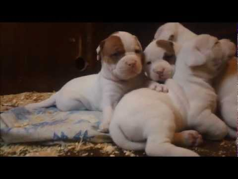 AMERICAN BULLDOGS DETROIT MICHIGAN Puppy's