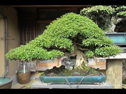 Simple Bonsai Tree Care Requirements: Growing a Fascinating Tree at Home
