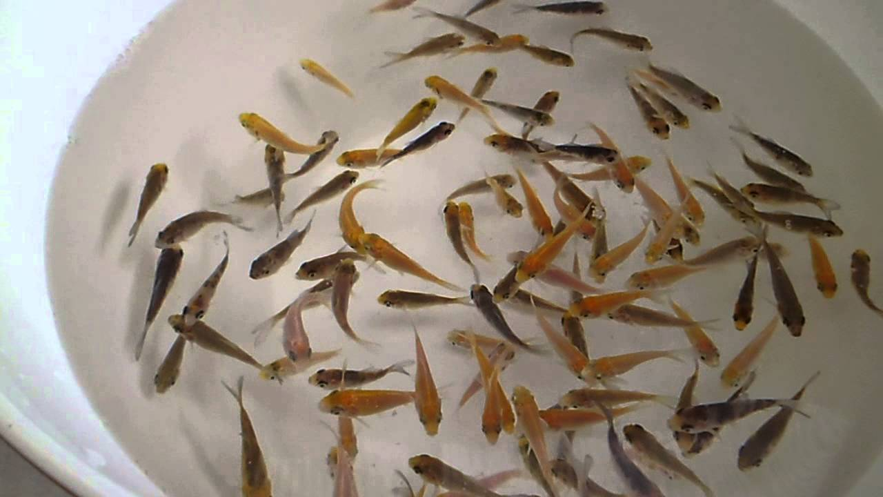 Koi fry the carp co youtube for Koi carp fry