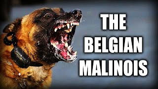 THE BELGIAN MALINOIS  A QUICK LOOK AT THE HISTORY AND BREED STANDARD
