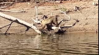 Медведь на Юмагузинском водохранилище(, 2015-10-04T21:57:54.000Z)