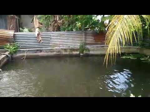 kolam ikan nila dan koi dihalaman rumah - youtube