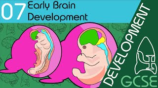 Early Brain Development - Development, GCSE Psychology [AQA]