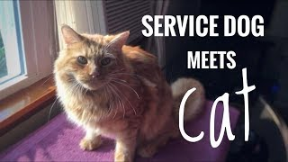 service-dog-meets-cat-gone-right