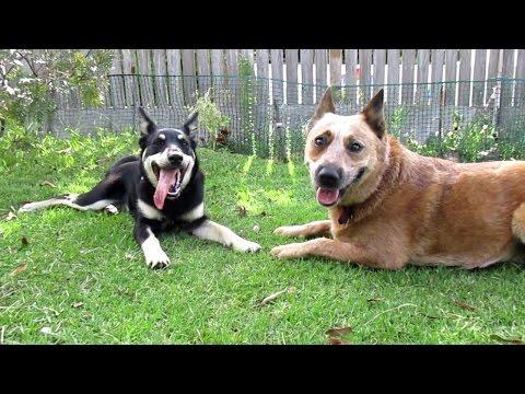 Ellie (Kelpie x) and Topaz (Kelpie x) playing