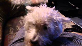 Apologetic West Highland White Terrier