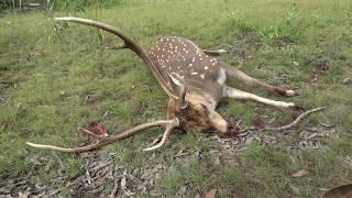 Gambar cover Deer Hunting Australia. 308 win. Axis Deer Hunting. Chital Stag.