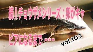 続!チョウザメシリーズ:卵がキャビアになるまで vol.103