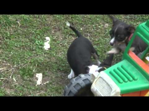 Teacup Taffy Toy Fox Terrier Puppies