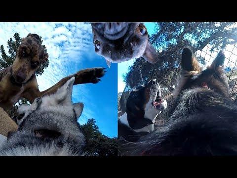 POV: Siberian Husky And German Shepherd Get BULLIED For Wearing A Gopro!