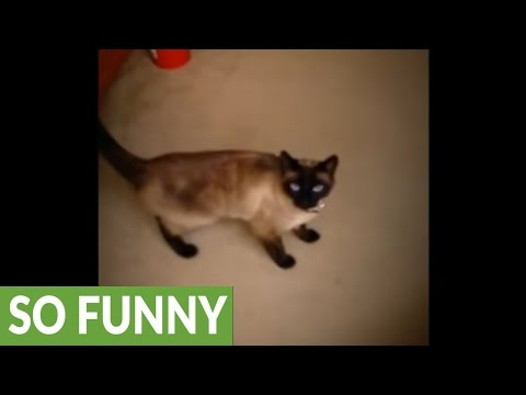 Siamese cat caught opening pantry door