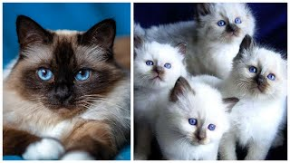 20 Interesting Facts about Birman Cats