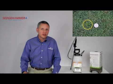 Nutsedge Control With SedgeHammer®+ Herbicide
