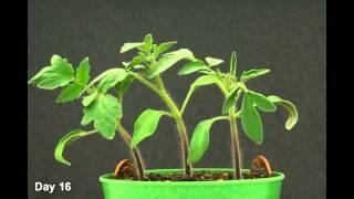 Domates Tohumunun Büyümesi