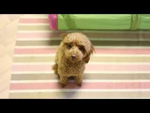 Feelgood (Australian shepherd Loke and miniature poodle Gaia)