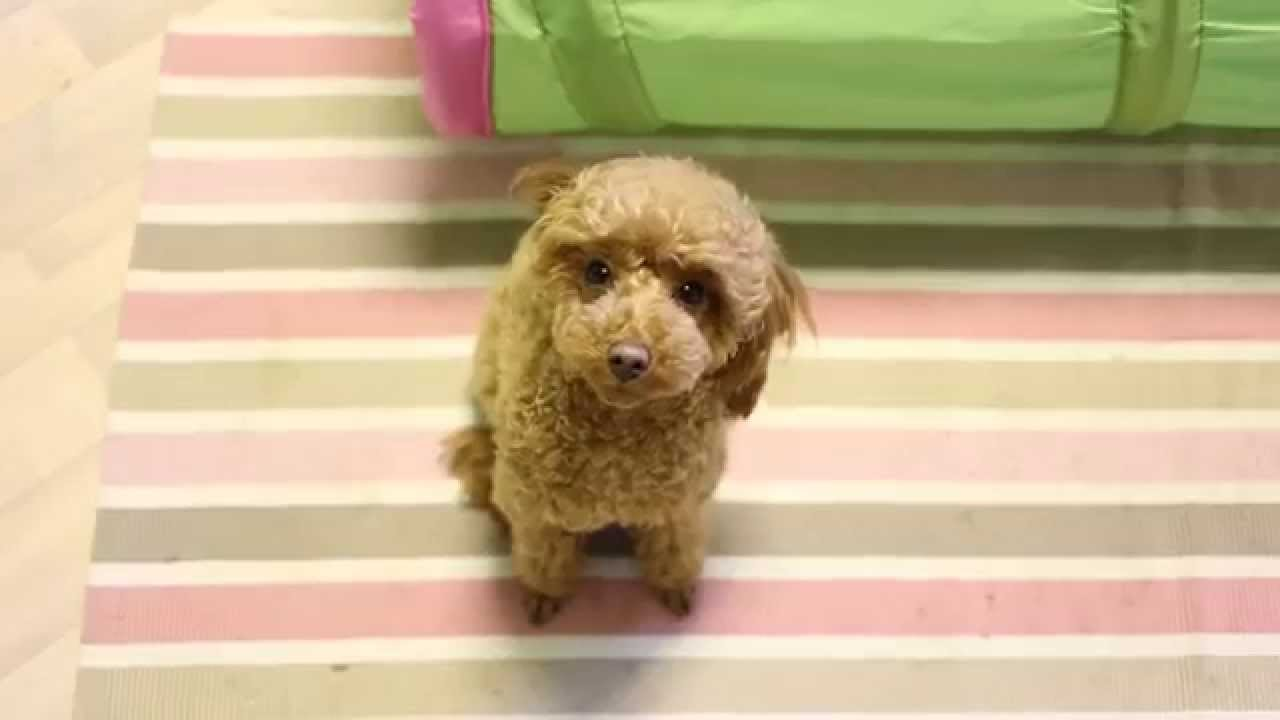 The Everyday Life Australian Shepherd Loke And Miniature Poodle Gaia