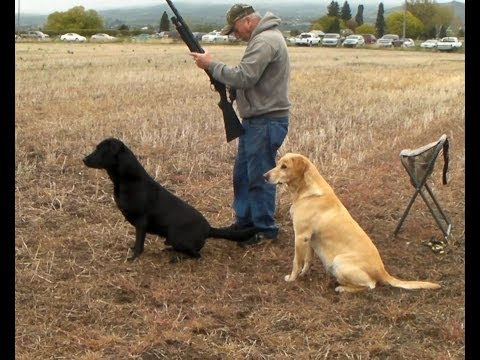 Willhe - Labrador Retriever training for HRC Hunt Test