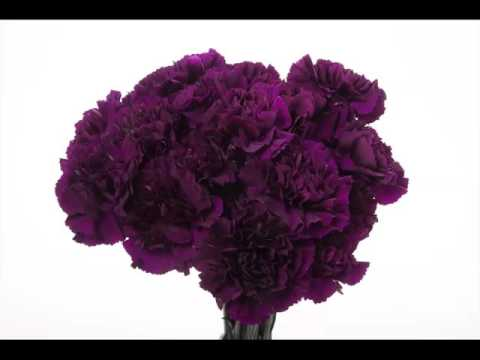 Purple Carnation Flower Beautiful Picture Collection Set And Ideas